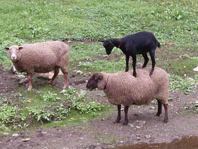 capre pecore