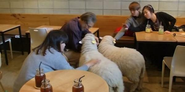 pecore caffe