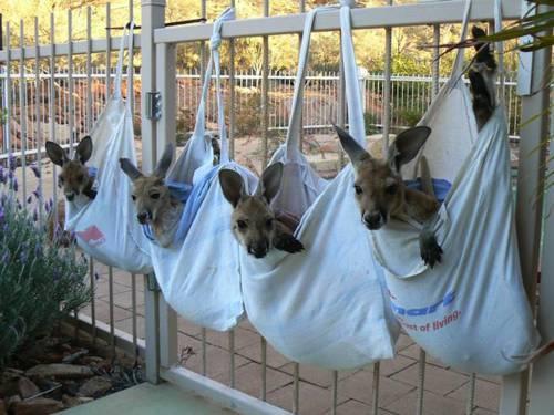 b2ap3_thumbnail_Chris-Barnes-Kangaroo-Sanctuary-canguri-orfani-Australia-02.jpg