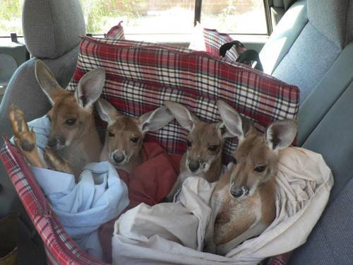 b2ap3_thumbnail_Chris-Barnes-Kangaroo-Sanctuary-canguri-orfani-Australia-06.jpg