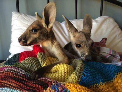 b2ap3_thumbnail_Chris-Barnes-Kangaroo-Sanctuary-canguri-orfani-Australia-08.jpg