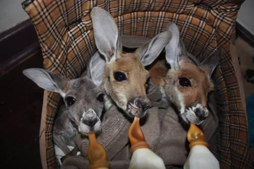 b2ap3_thumbnail_Chris-Barnes-Kangaroo-Sanctuary-canguri-orfani-Australia-13.jpg