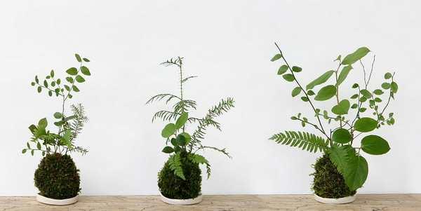 kokedama cosa sono come fare bonsai