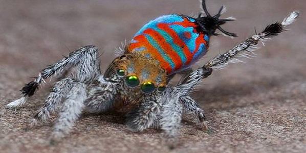 ragno bello