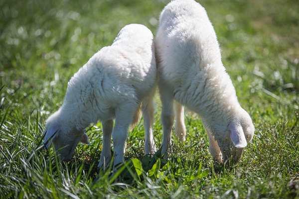 agnelline essere animali 3