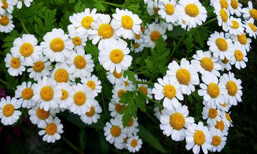 b2ap3_thumbnail_camomilla-pianta.jpg