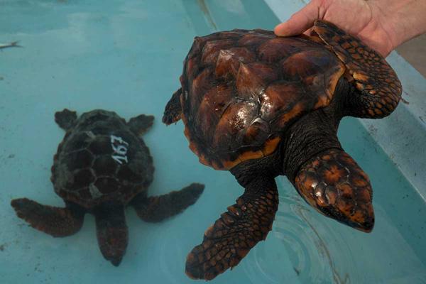 canarie tartarughe