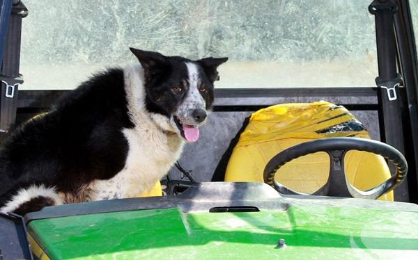 cane trattore2