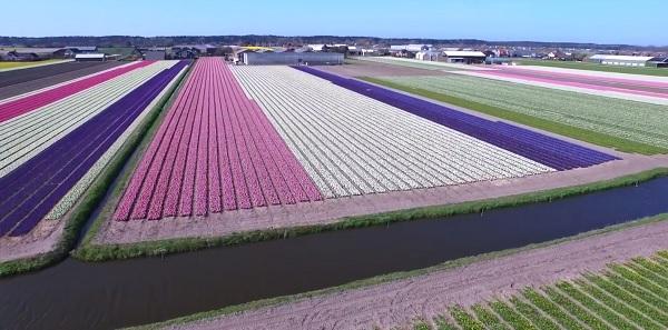 fiori olanda2