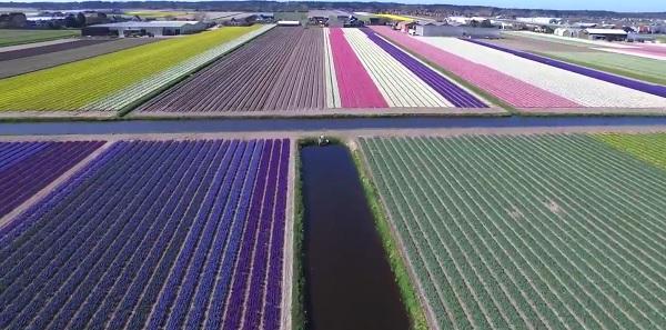 fiori olanda3