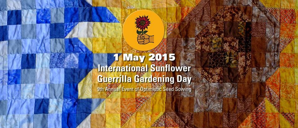 sunflower guerrilla gardening 2015