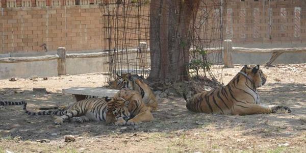 tigri rifugio