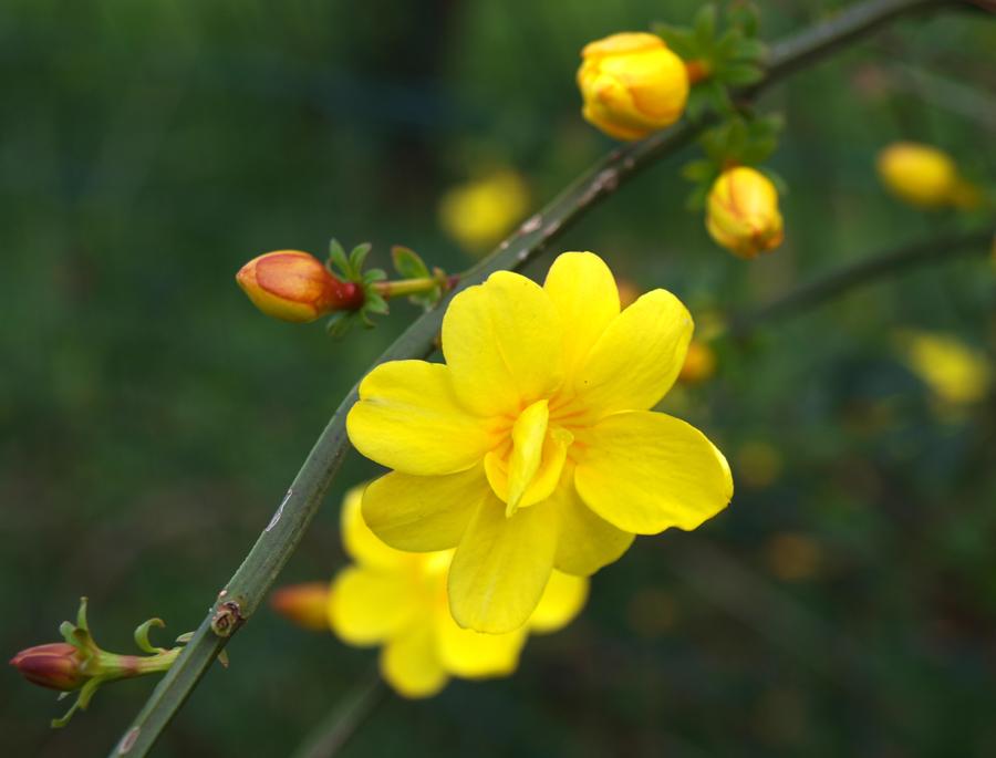 jasminum primulinum