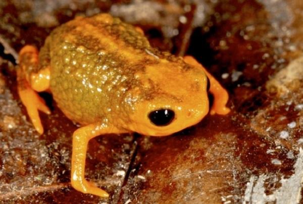 brachycephalus boticario frog
