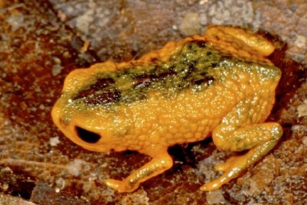 brachycephalus fuscolineatus frog