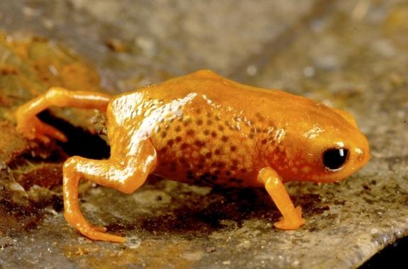 brachycephalus leopardus frog