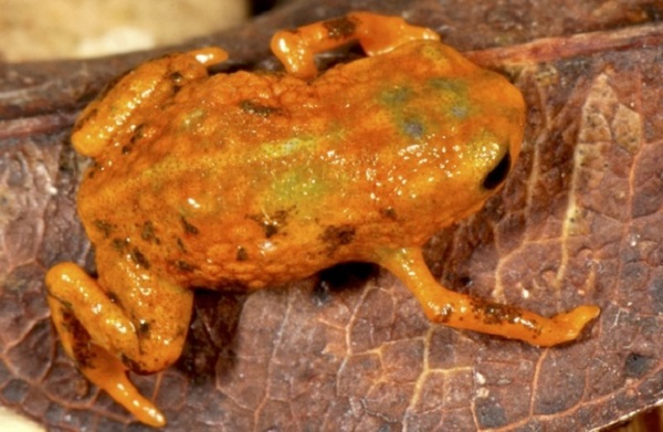 brachycephalus mariaeterezae frog