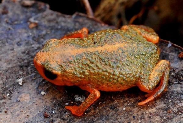 brachycephalus verrucosus frog