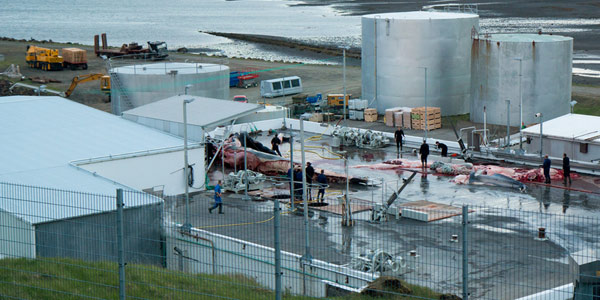 caccia balene islanda