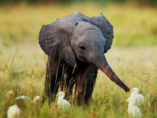 animali intelligenti 10 elefanti