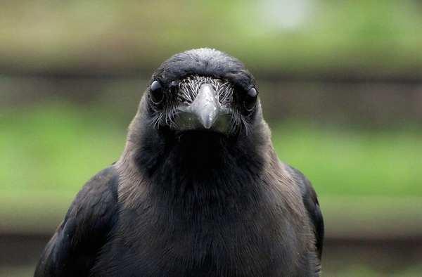 animali intelligenti 5 corvi