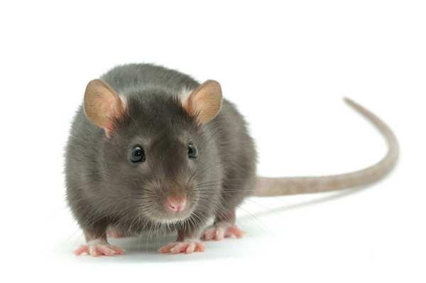 animali intelligenti 6 ratti
