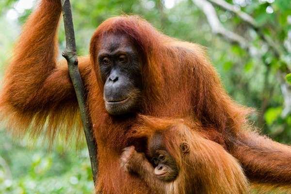 animali intelligenti 7 orangutan