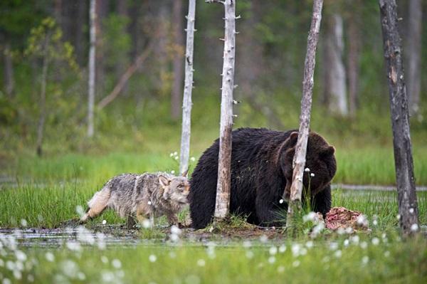 L'incredibile e rara amicizia tra un lupo e un orso (FOTO