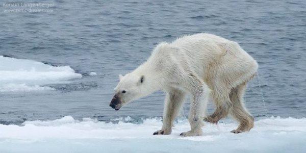 orso emaciato