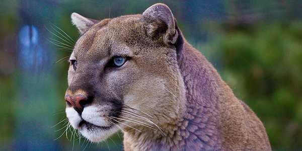 save la cougars cover