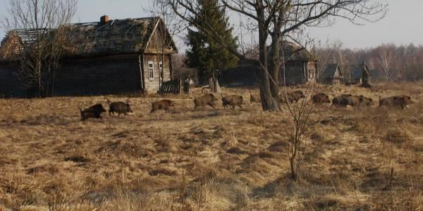 animali radiazoni chernobyl