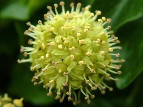 b2ap3_thumbnail_hedera_helix_common_ivy_flowers_29-08-04.jpg