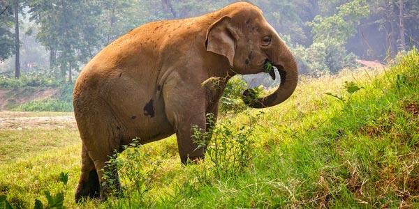 elefante thai