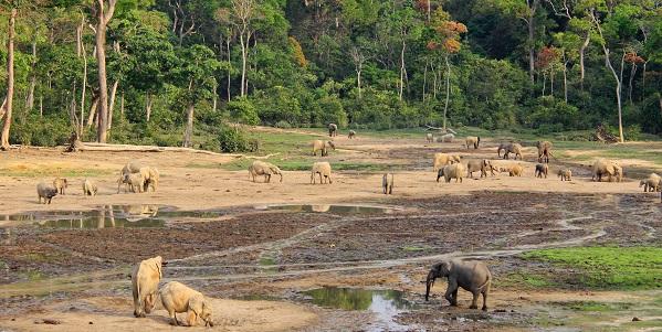 elefanti di foresta 296700