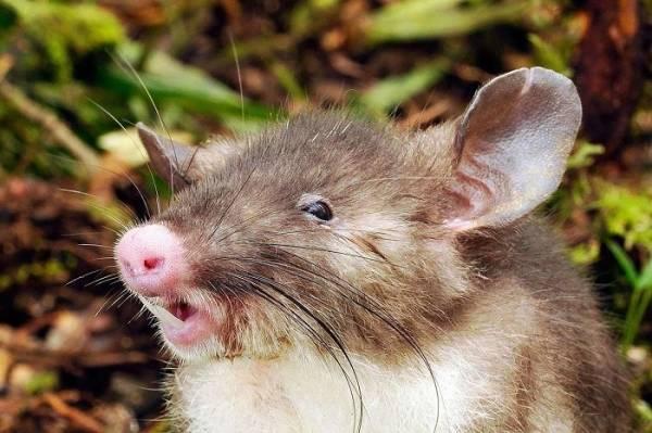 hog rat 4