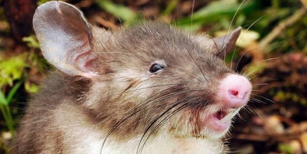 hog rat cover