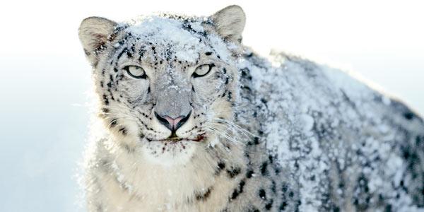 leopardo nevi 1