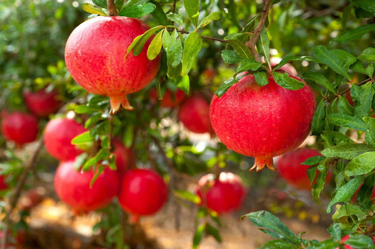 melograno-frutti