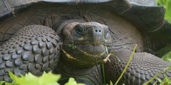 nuova tartaruga galapagos