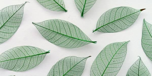skeleton leaf cover