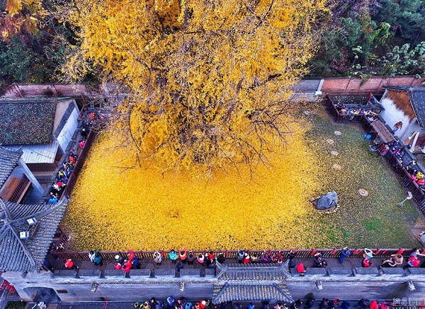 1400 old ginkgo tree yellow leaves buddhist temple china 5