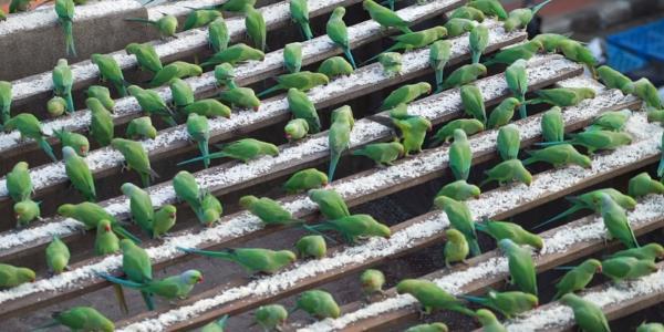birdman pappagalli1