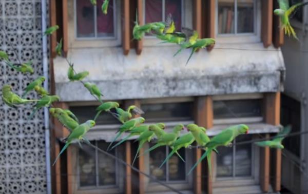 birdman pappagalli2