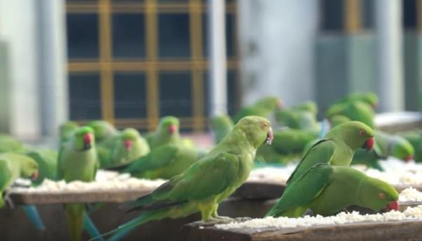 birdman pappagalli3