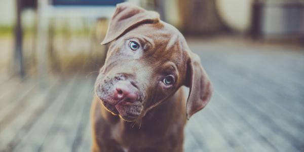 i cani inclinano la testa