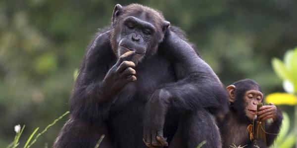 scimpanzé NIH