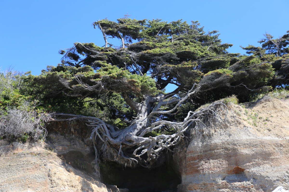 albero Kalaloch