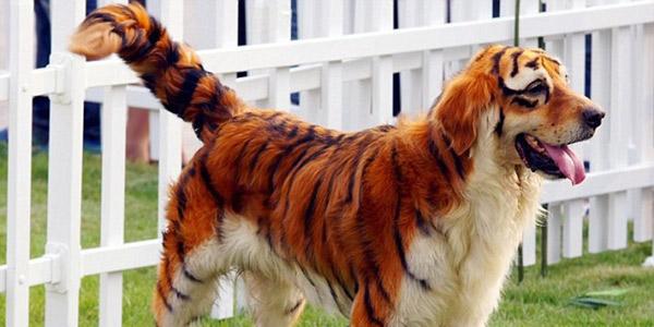 cani cina tigre 1