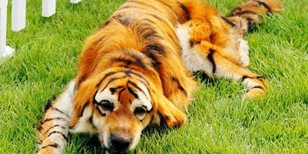 cani cina tigre 3