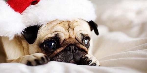 Immagini Cani Natale.Come Mantenere Il Vostro Cane Al Sicuro Durante Le Feste
